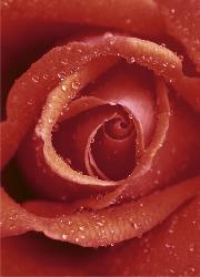 Poster para pared - Rose Enmarcado de laminas