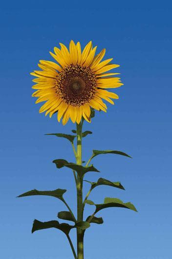 Poster para pared - Sun flower
