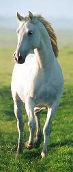 Poster para pared -White horse Enmarcado de laminas