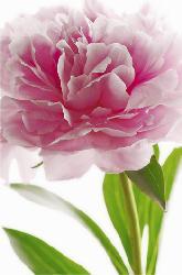 Poster para pared - Pink peony Enmarcado de cuadros