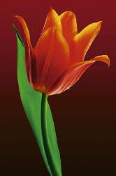 Poster - Tulip on red Enmarcado de laminas